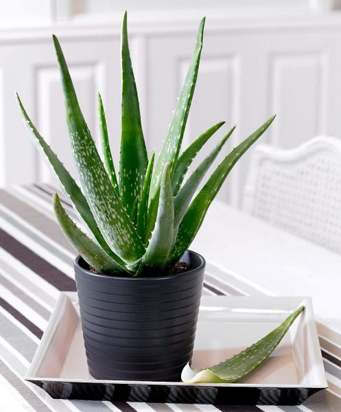 aloe-vera-helps-sleep-better