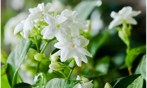 jasmine-helps-stop-tooth-grinding